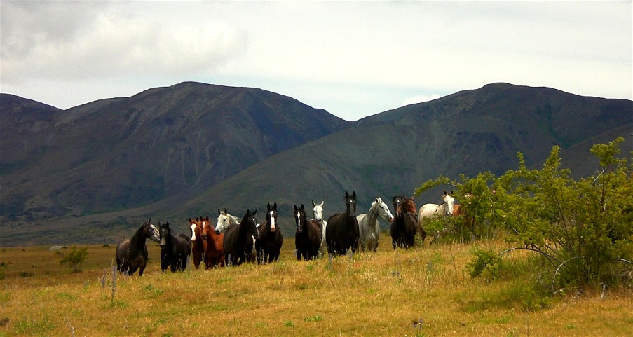Molesworth stock horses that are used for cattle work and mustering.