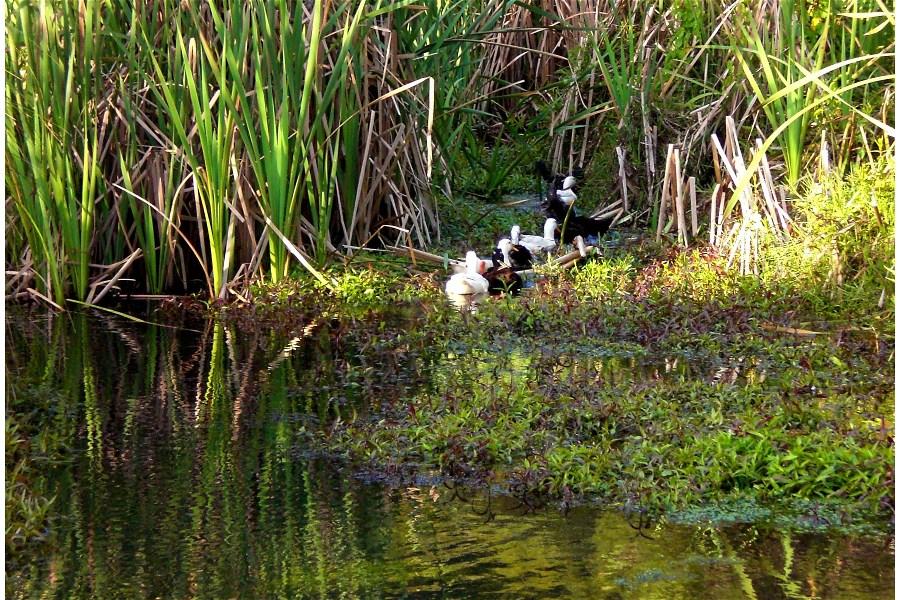 Ducks Swimming Amongst Raupo