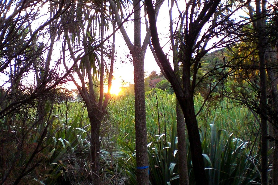 Wetlands with Raupo Near Matiatia