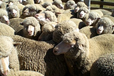 PETA video exposes cruelty and abuse in Australian shearing sheds.