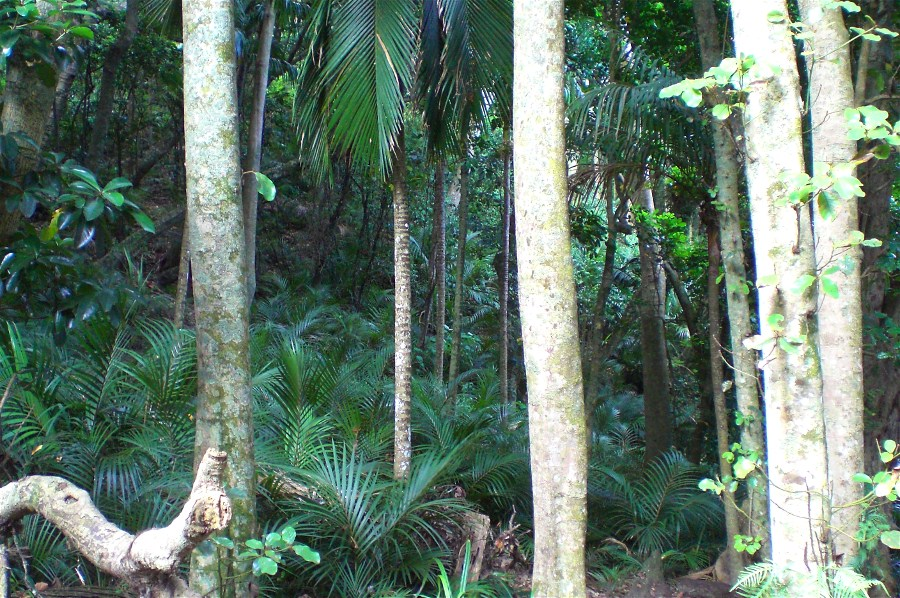 Young Nikau palms cover the foest floor.