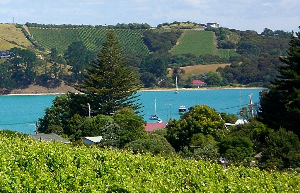 Te Whau's Cabernet and Merlot vines on the steep north-facing slope, seen from Goldie's Vineyard.