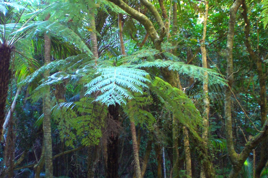 Tree ferns flourish in the valleys of Te Haahi Reserve